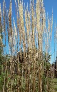 Smukłe, zadziwiające, jesienne trawy