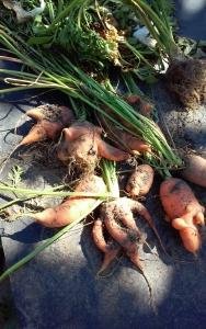Piękne kształty marchewek. Jesienne plony z działki